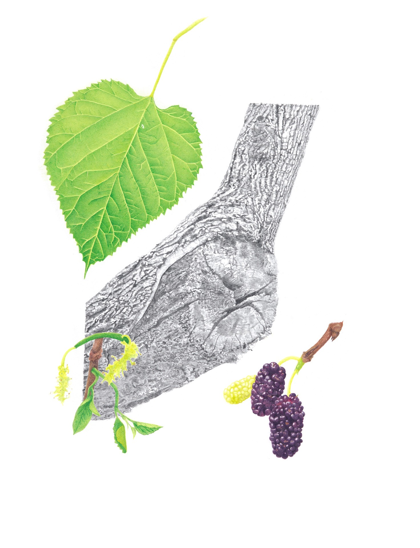 Red mulberry, Morus rubra, Gicleè print of colored pencil and graphite by Autumn Secrest