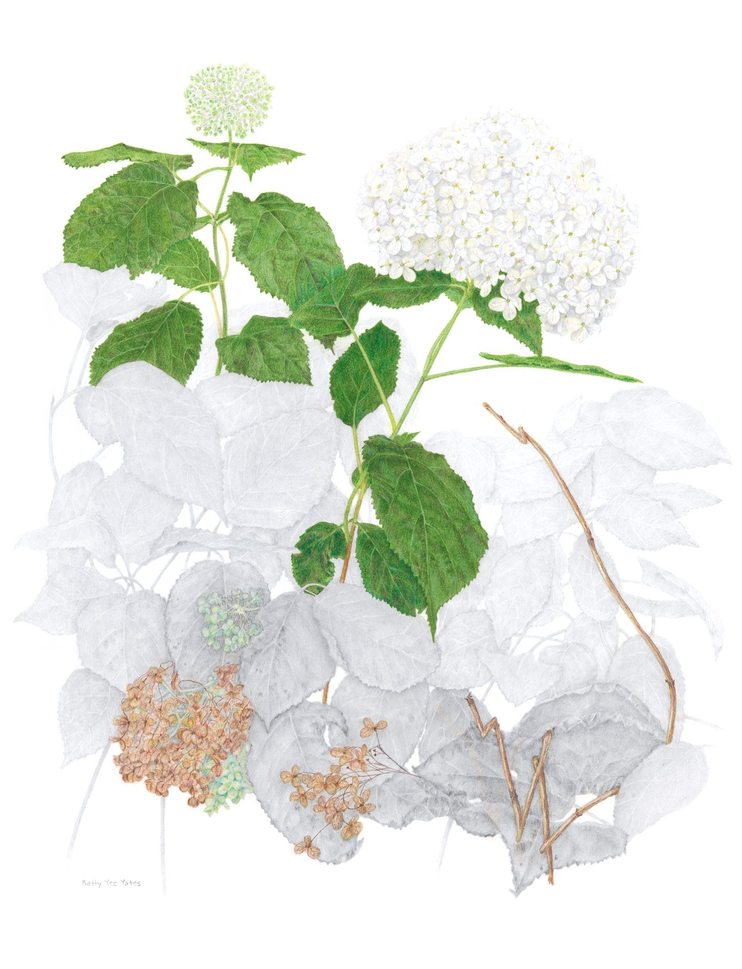 Wild hydrangea, Hydrangea arborescens, Colored pencil, graphite aquarelle and graphitint by Betty Yee Yates