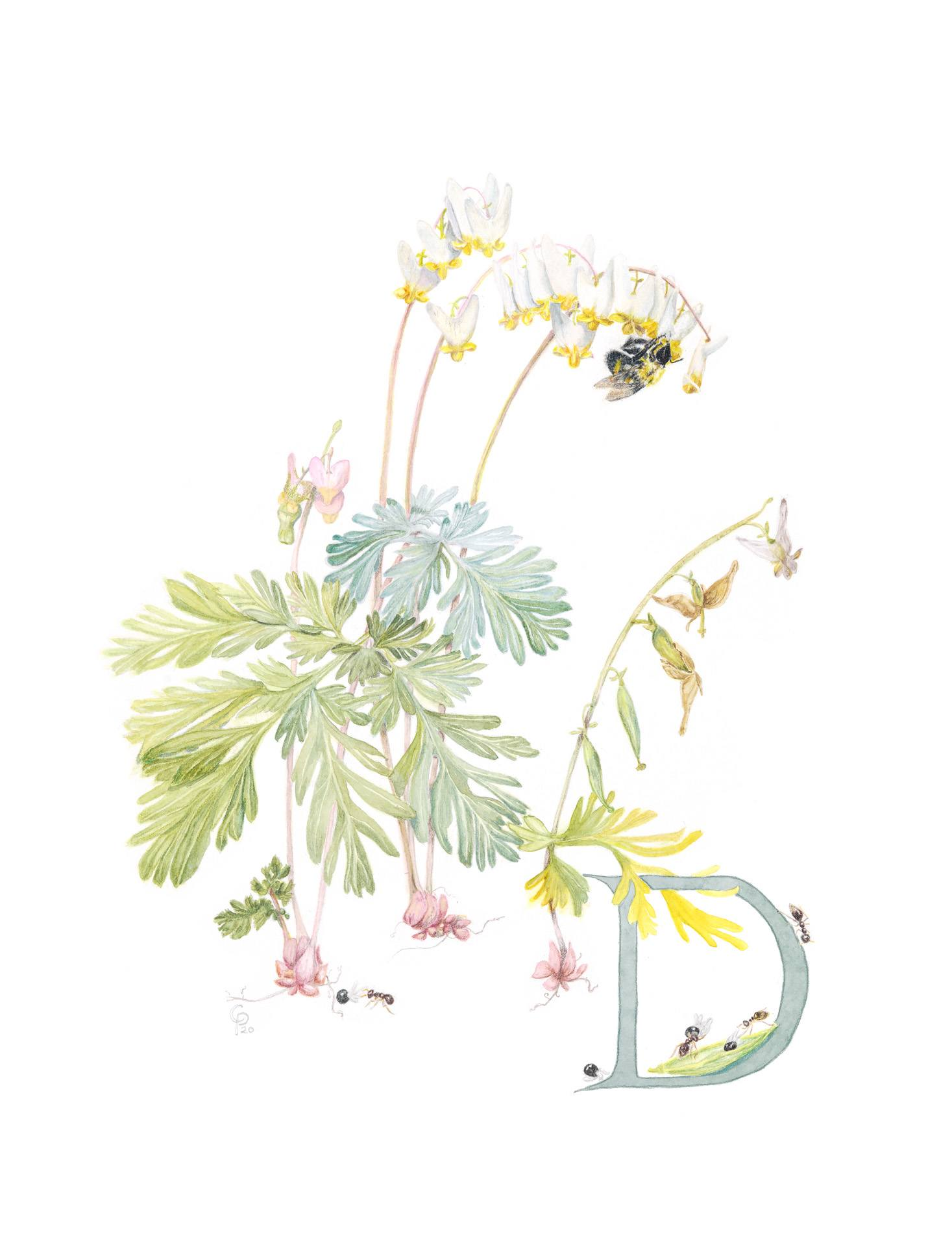 Dutchman's breeches, Dicentra cucullaria, Giclée print of watercolor and colored pencil by Catherine Park