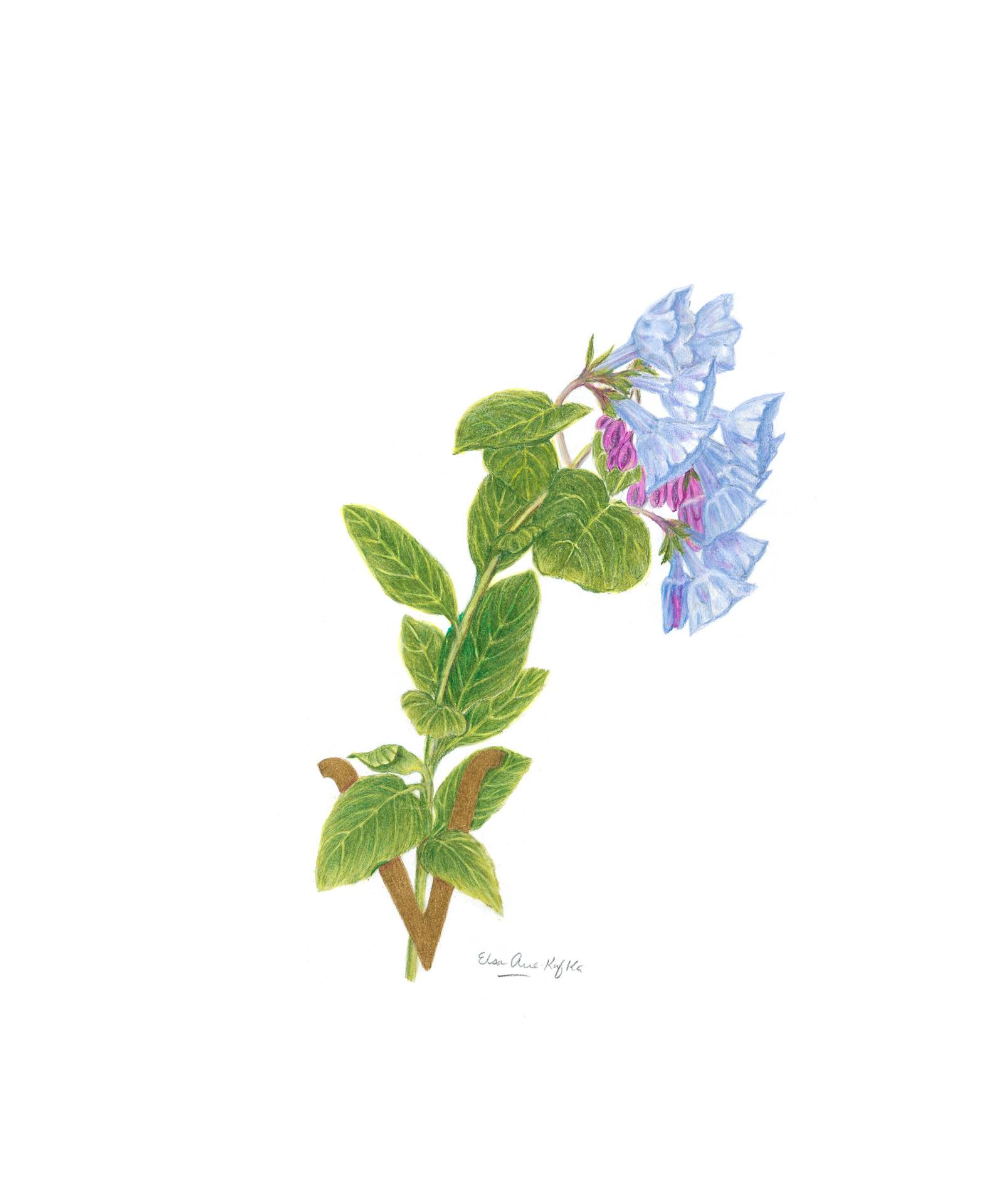 Virginia bluebells, Mertensia virginica, Watercolor and colored pencil by Elsa Arce