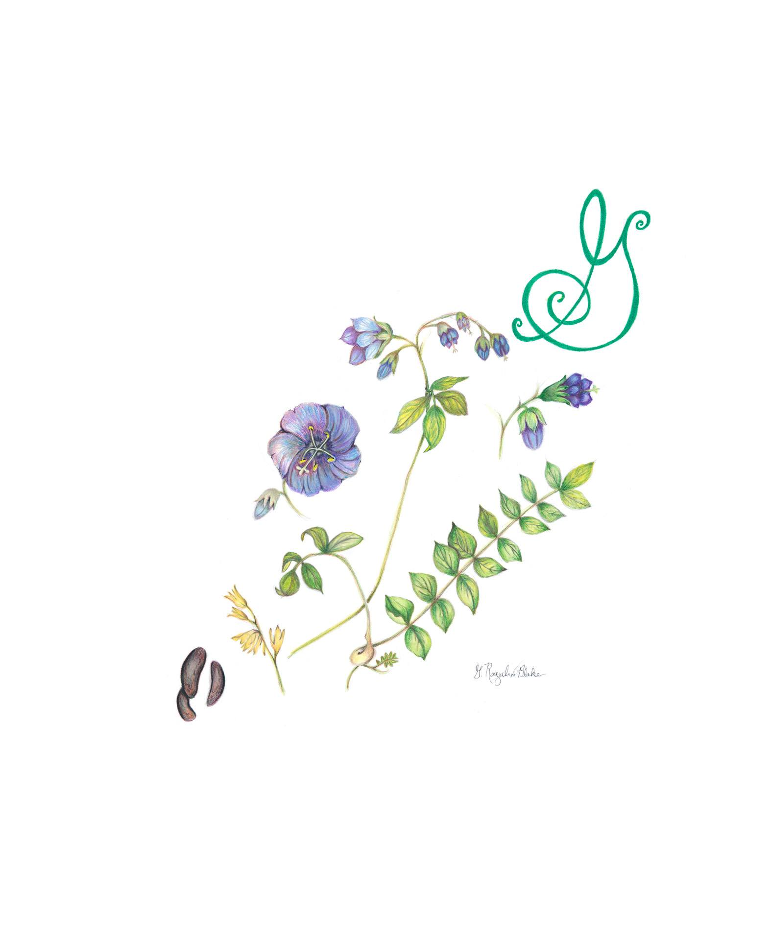 Greek valerian, Polemonium reptans, Colored pencil by Gloria Rogulin Blake