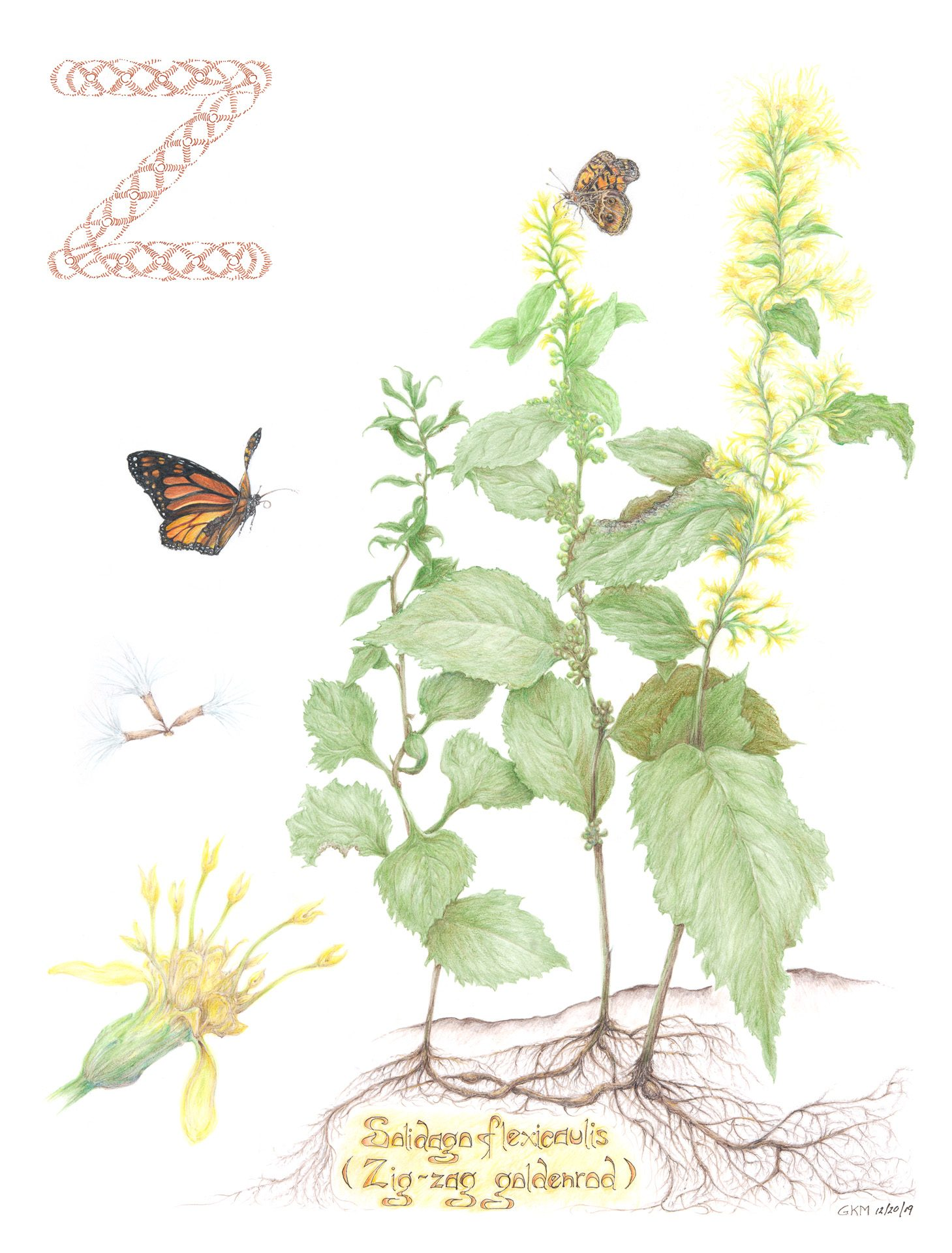 Zigzag goldenrod, Solidago flexicaulis, Colored pencil by Gordon McLean