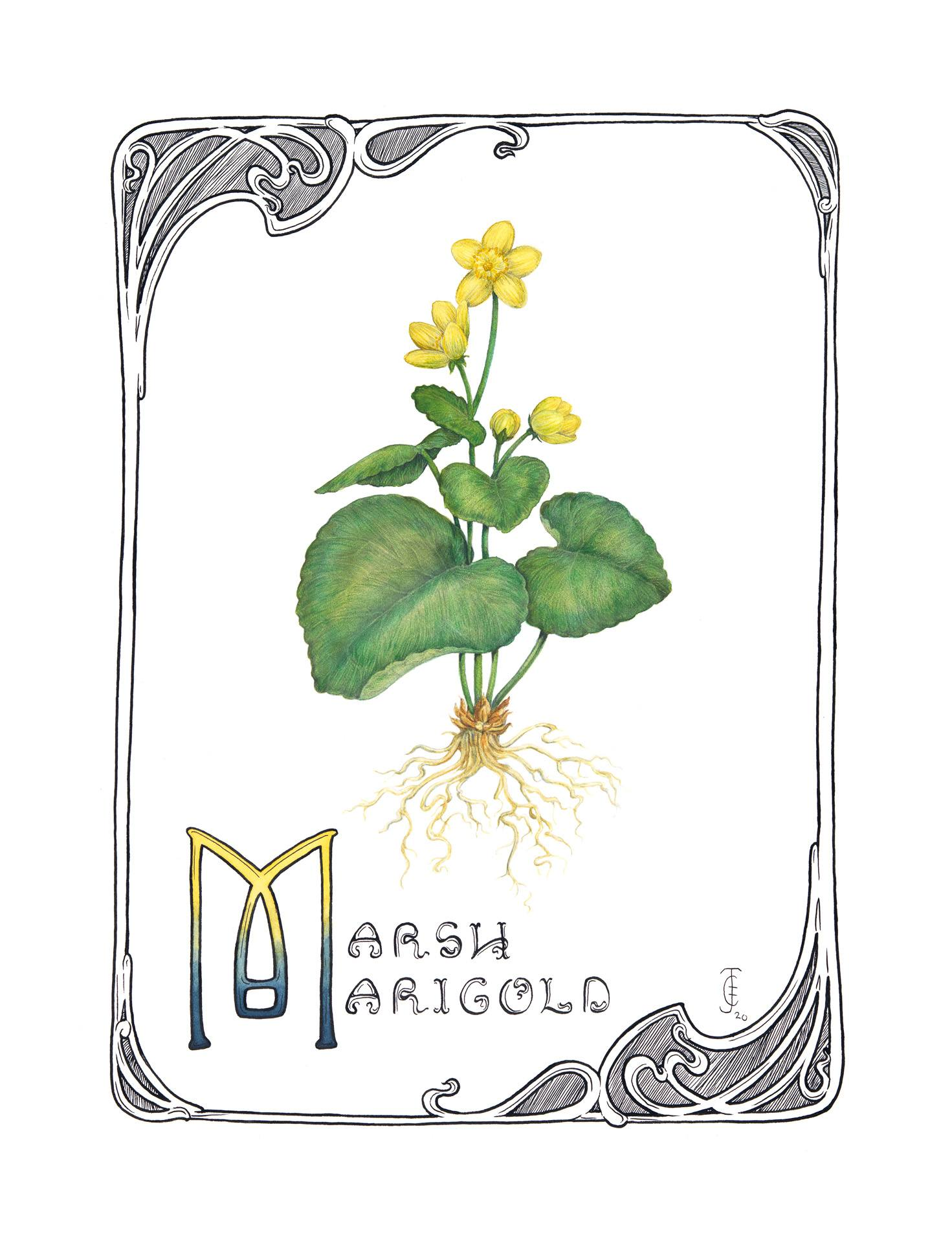 Marsh marigold, Caltha palustris, Watercolor, graphite and India ink by Jessi Cramer