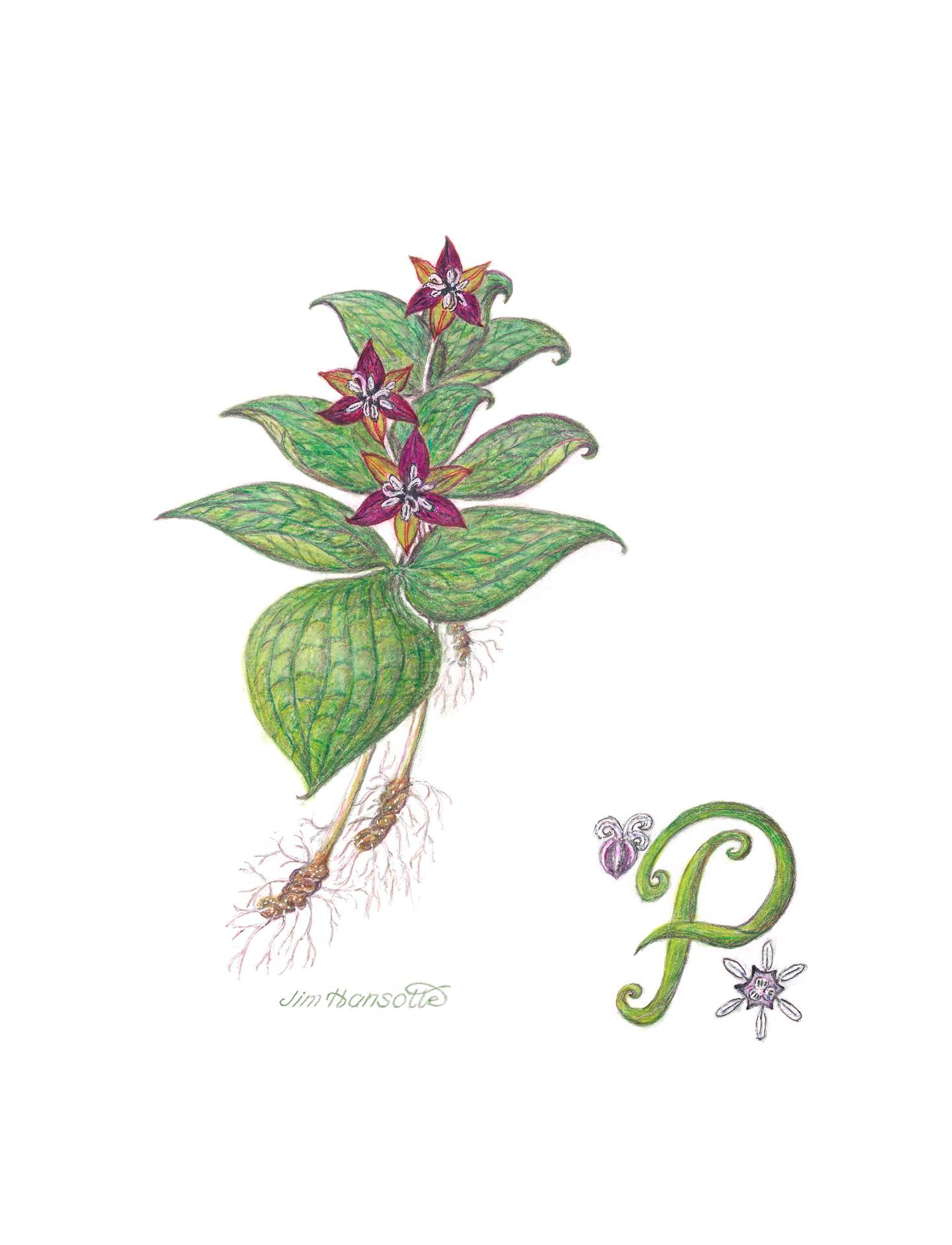 Purple trillium, Trillium erectum, Gicleè print of colored pencil and pen and ink by Jim Hansotte