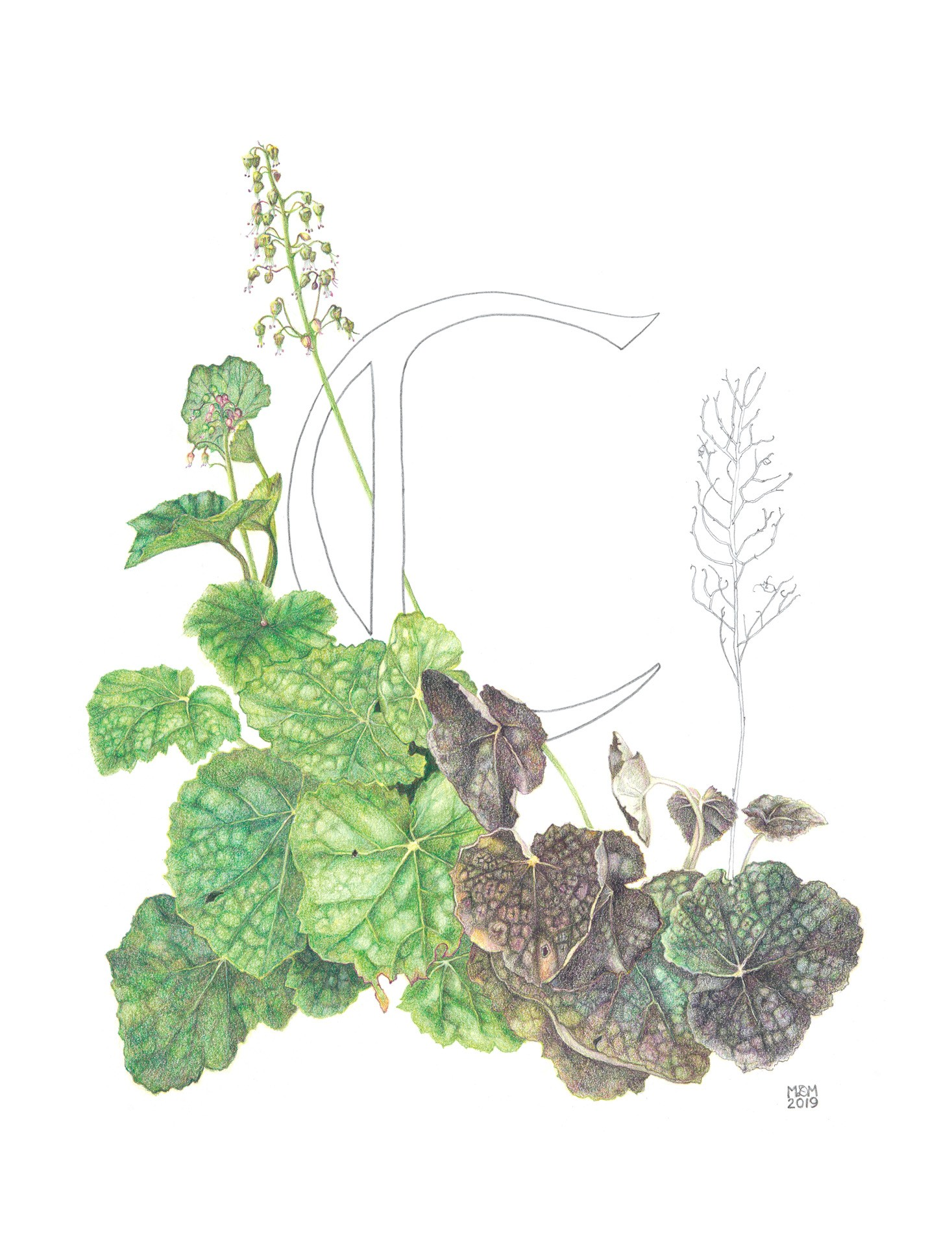 Coral bells, Heuchera  americana, Colored pencil by Marguerite Matz