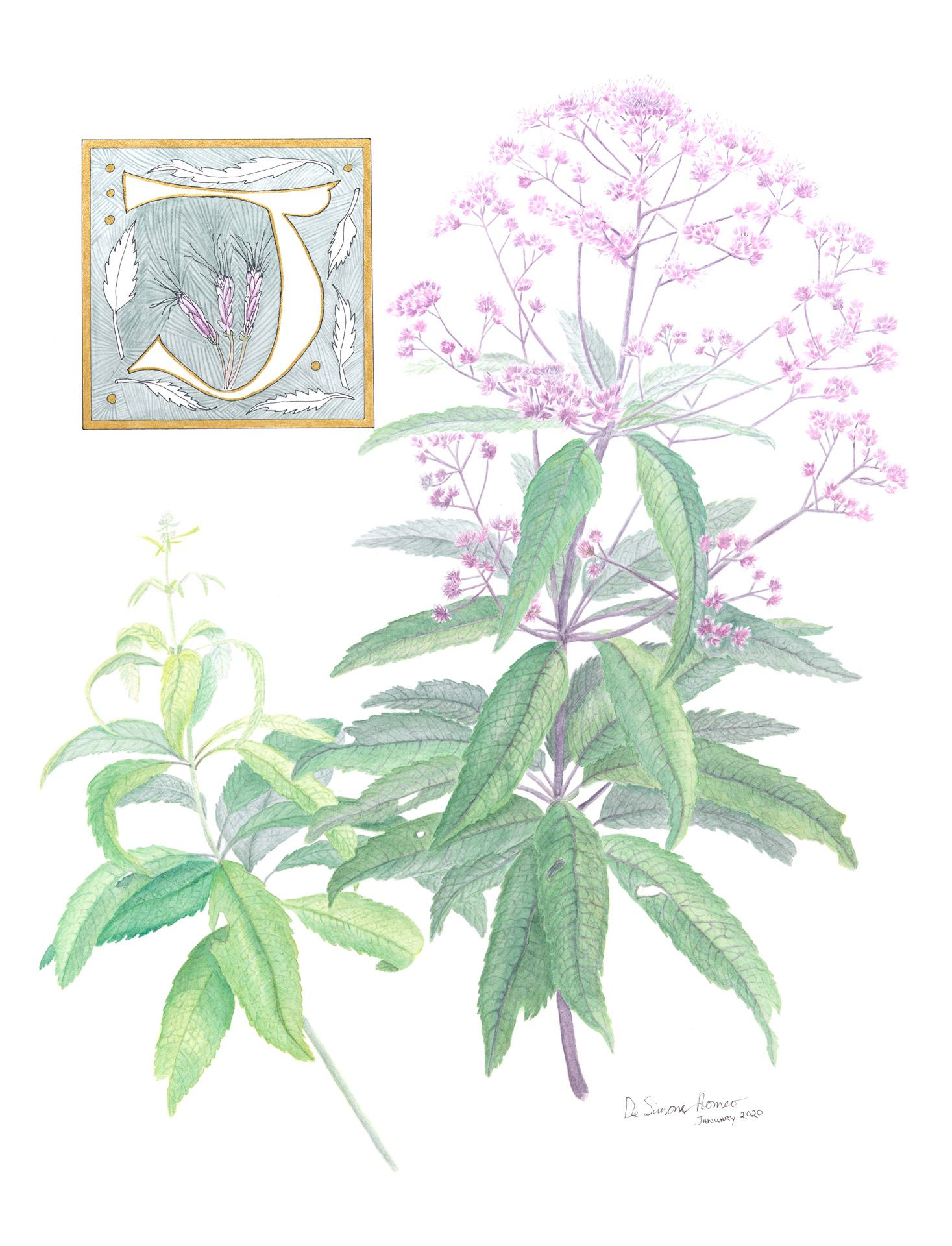 Joe-pye weed, Eutrochium fistulosum, Watercolor, ink and gouache by Pamela DeSimone Romeo
