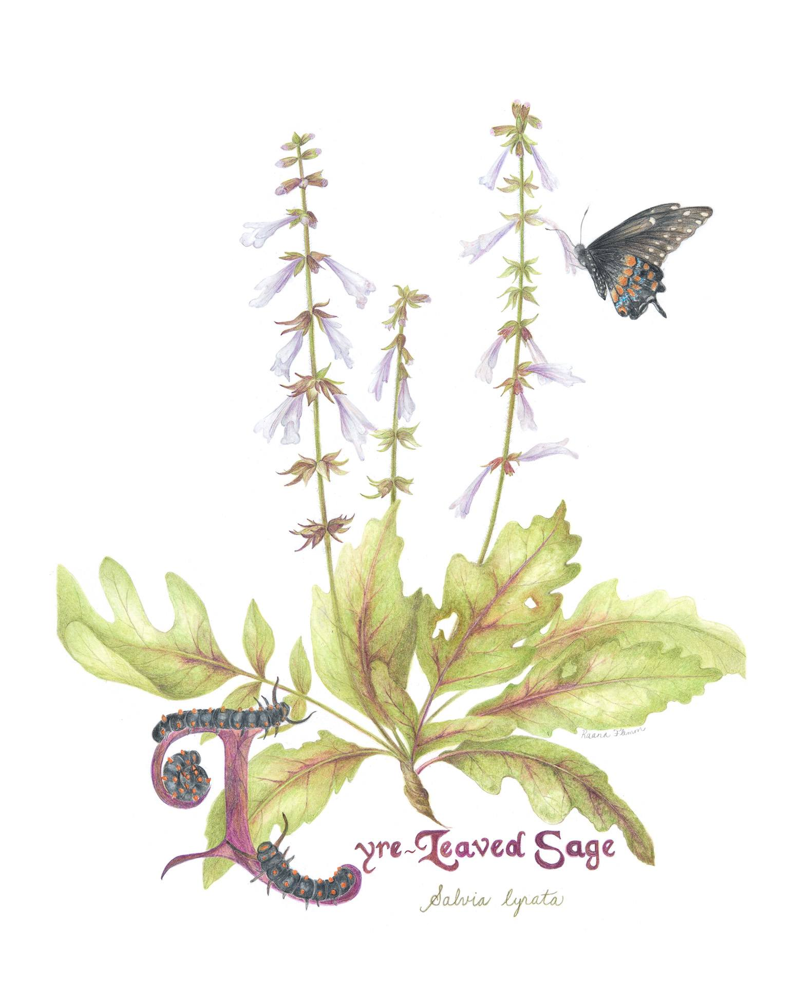 Lyre-leaved sage, Salvia lyrata, Colored pencil by Raana Flemm