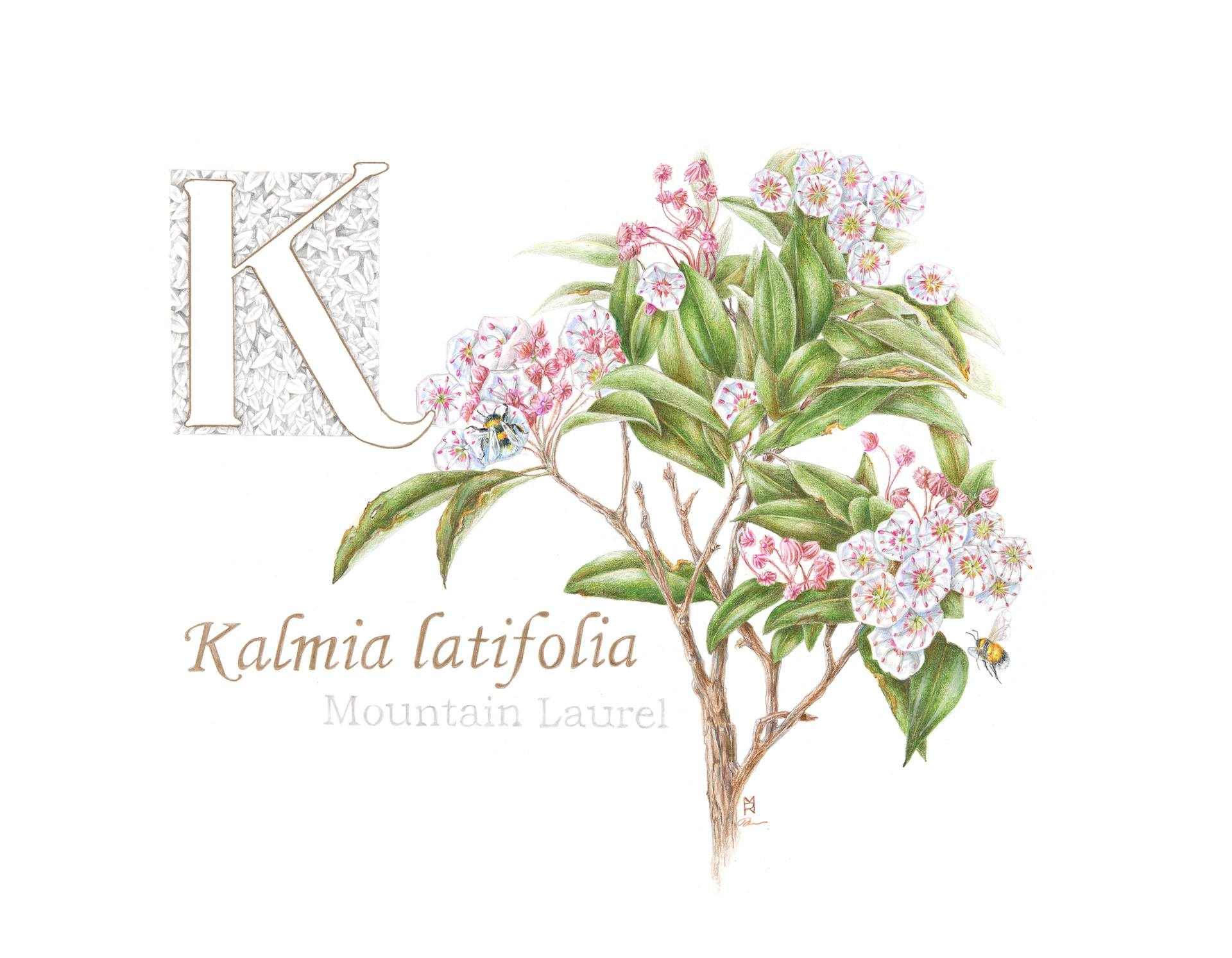 Kalmia latifolia, mountain laurel, Colored pencil and graphite by Robin Menard