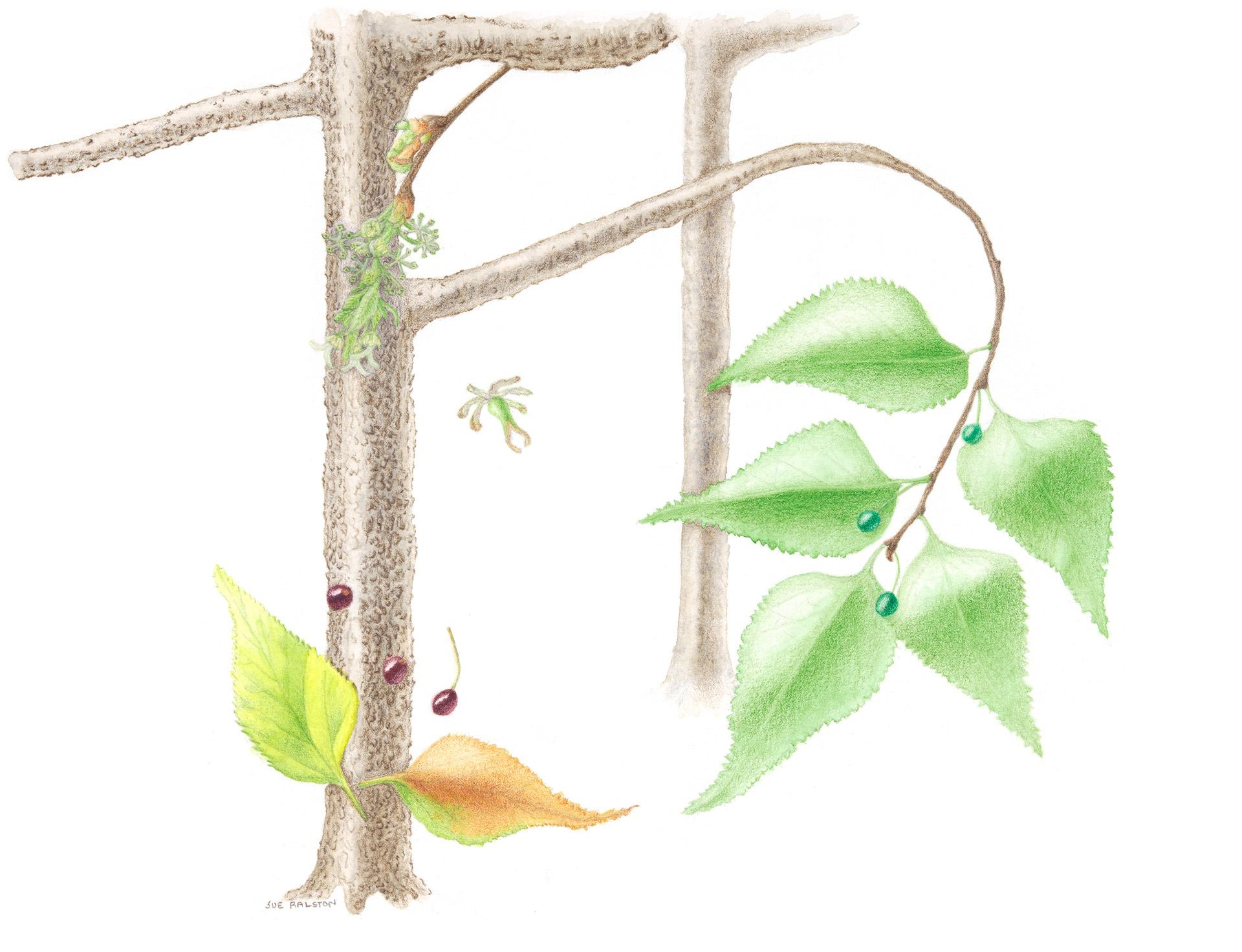 Hackberry, Celtis occidentalis, Giclèe print of colored pencil and watercolor by Sue Ralston