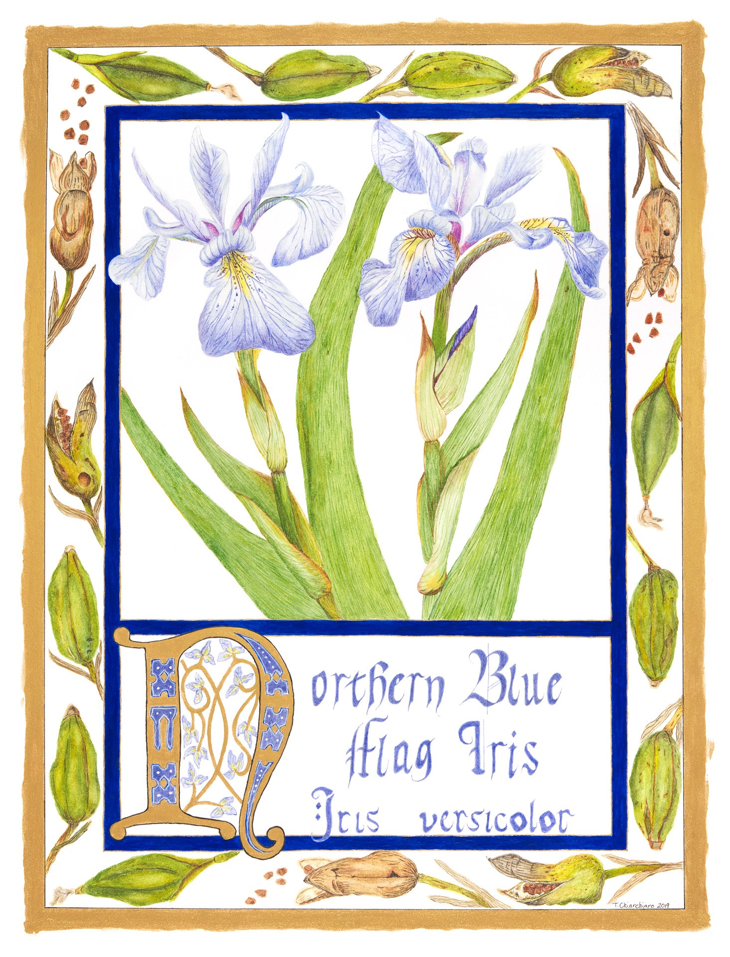 Northern blueflag, Iris versicolor Watercolor and egg tempera by Tena Chiarchiaro
