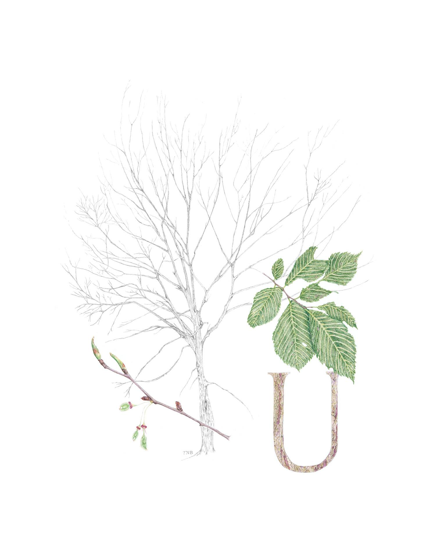 Ulmus americana, American elm, Colored pencil and graphite graphitint by Teresa Bradley