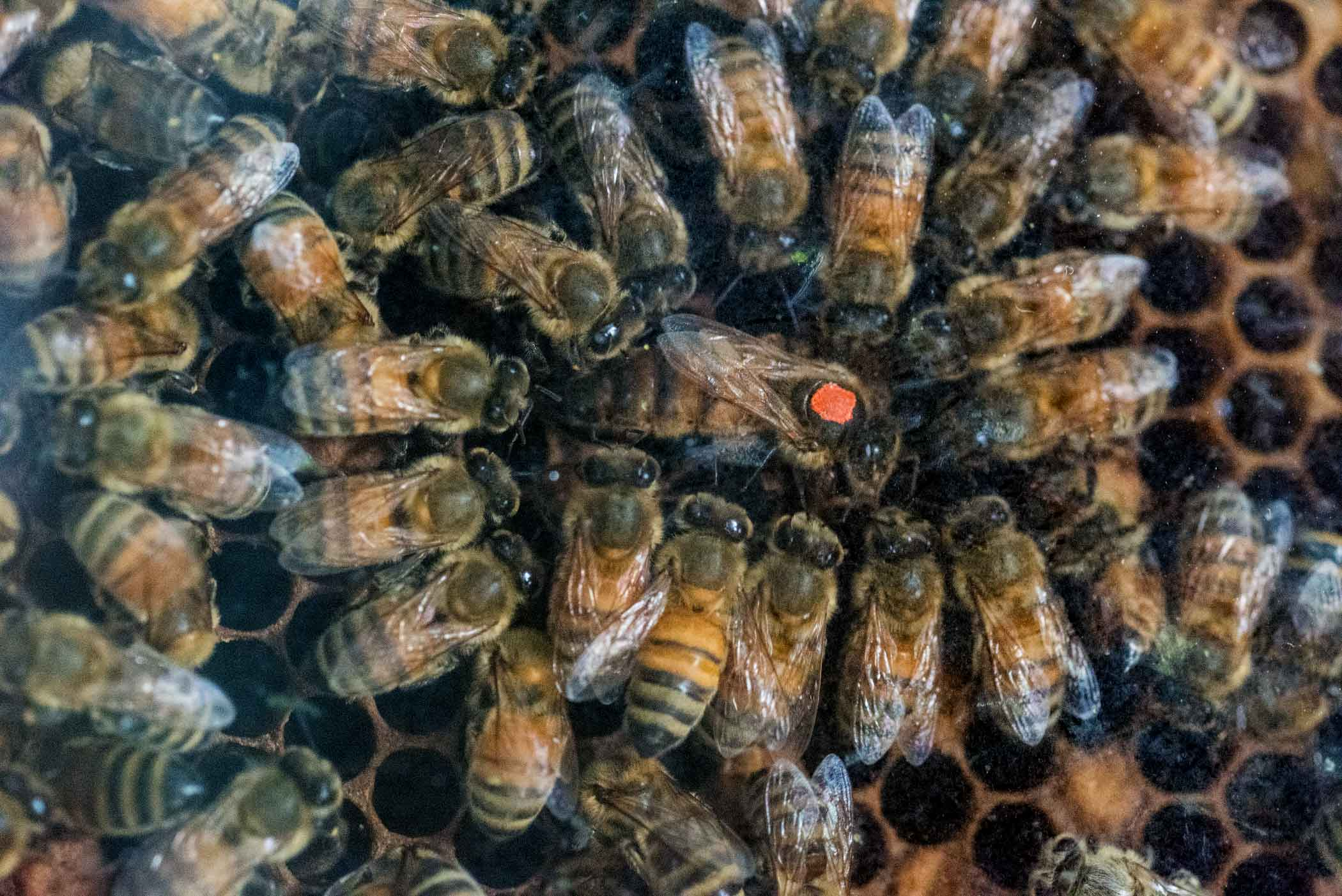 A queen bee in the hive.