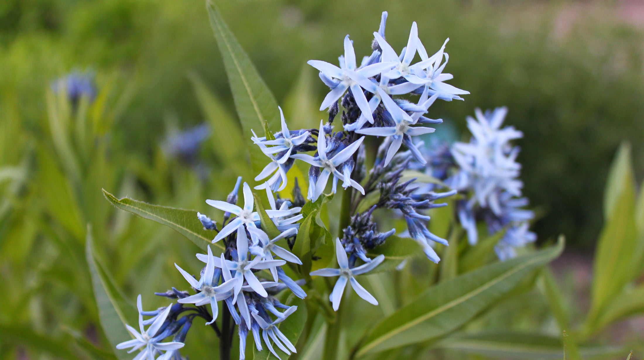 Related Keywords & Suggestions for light blue star flower
