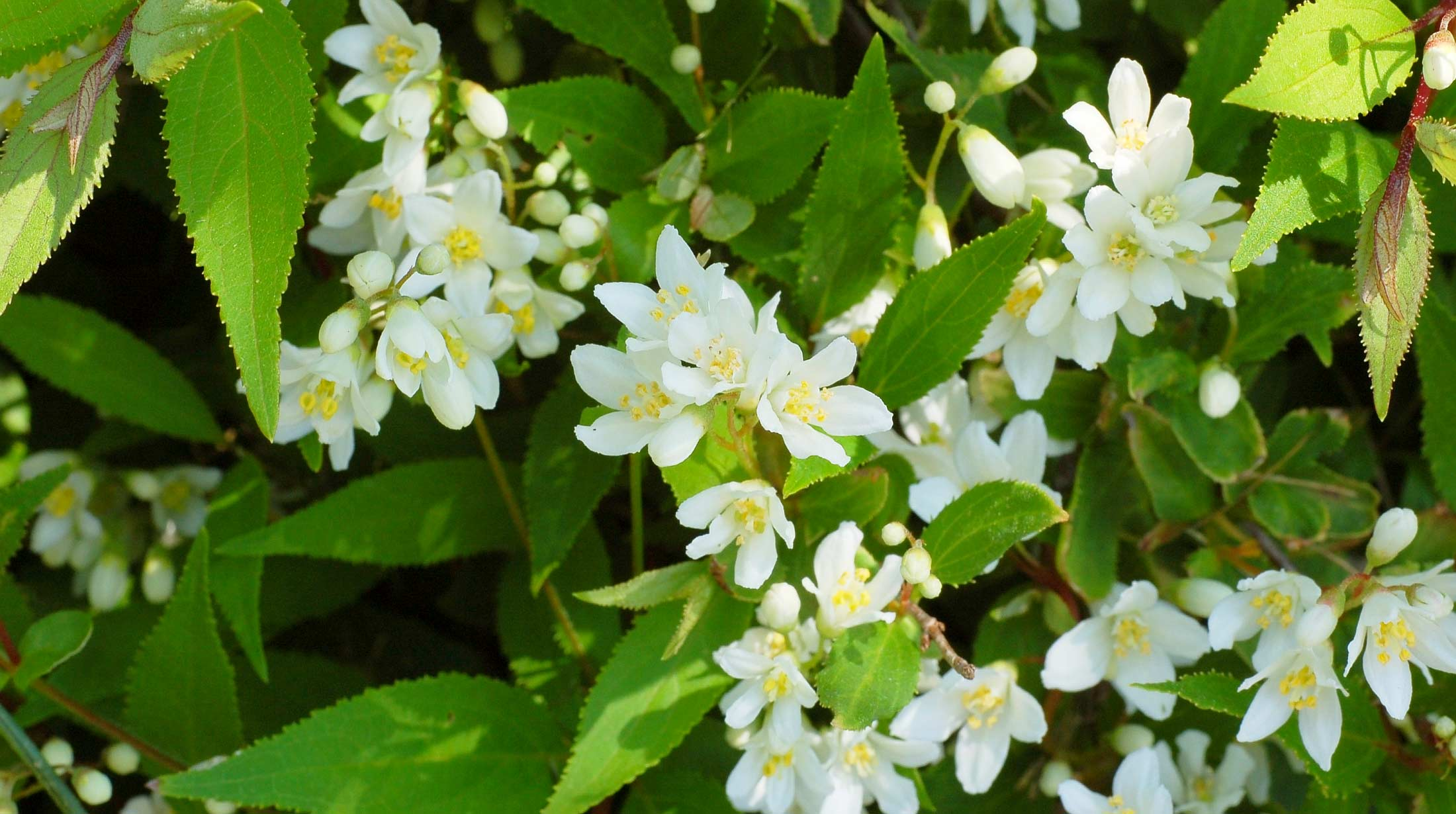 Mes Of Fragrant White Flowers Adorn This Compact Fine Textured Shrub In April To May Reaching 2 Foot Tall And 5 Wide Gently Arching Branches Make