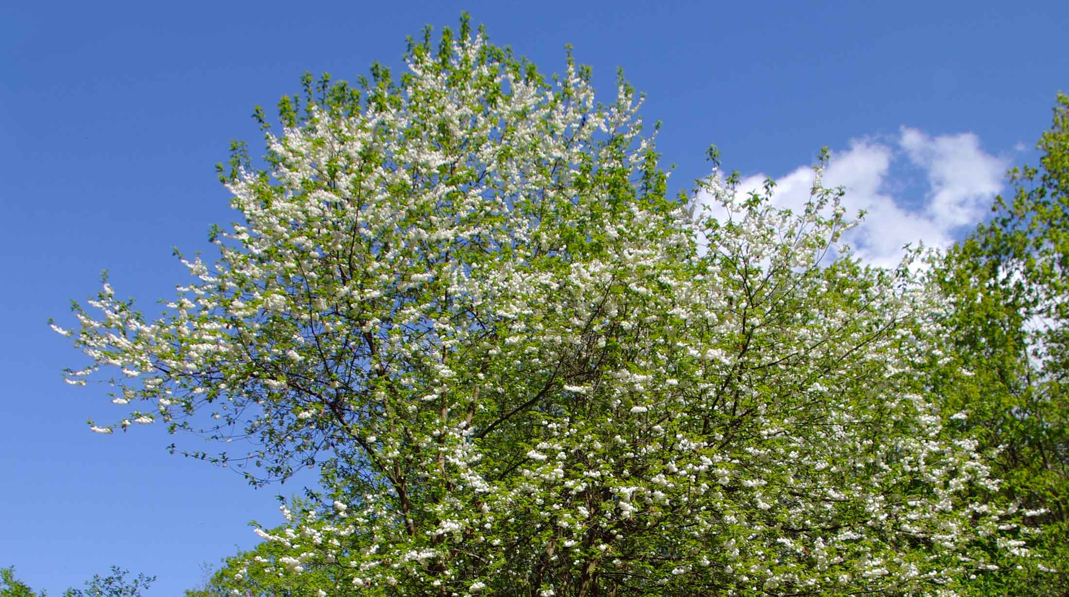 This 30 40 Foot Tall By 20 35 Wide Tree Has A Subtle Beauty With Cers Of Two To Five Pendulous White Bell Shaped Flowers In April