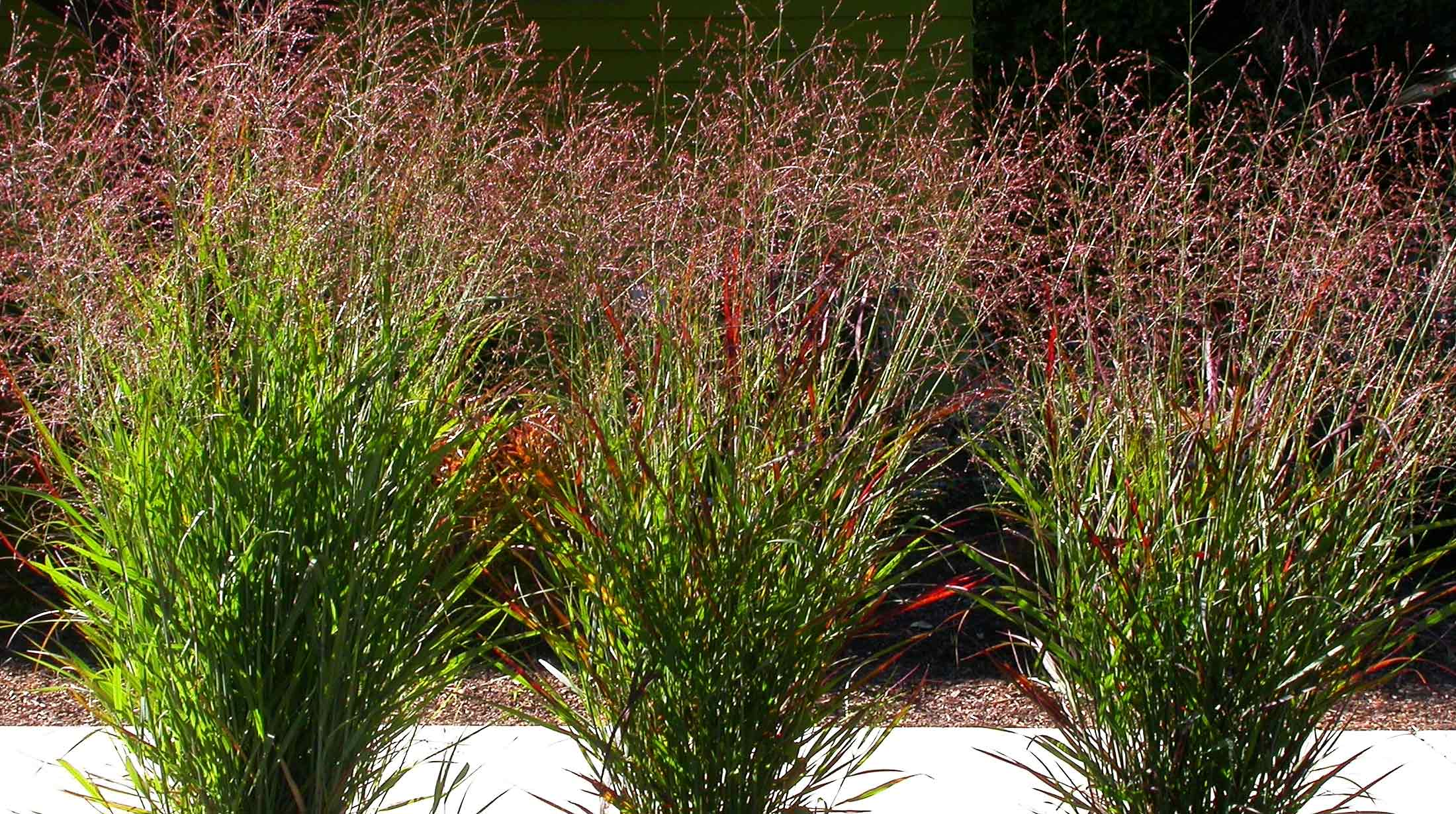 2010 top 10 sustainable plants phipps conservatory and for Tall red grass