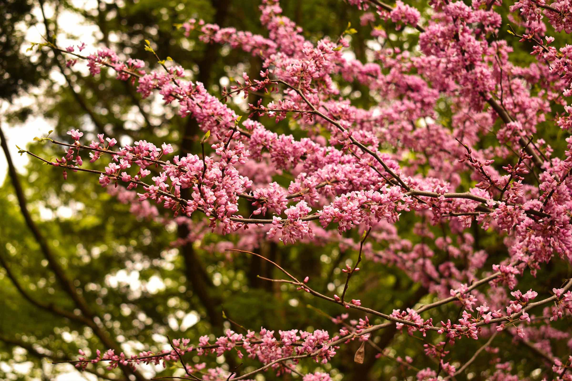 Ask Dr Phipps Early Spring Blooms Phipps Conservatory And