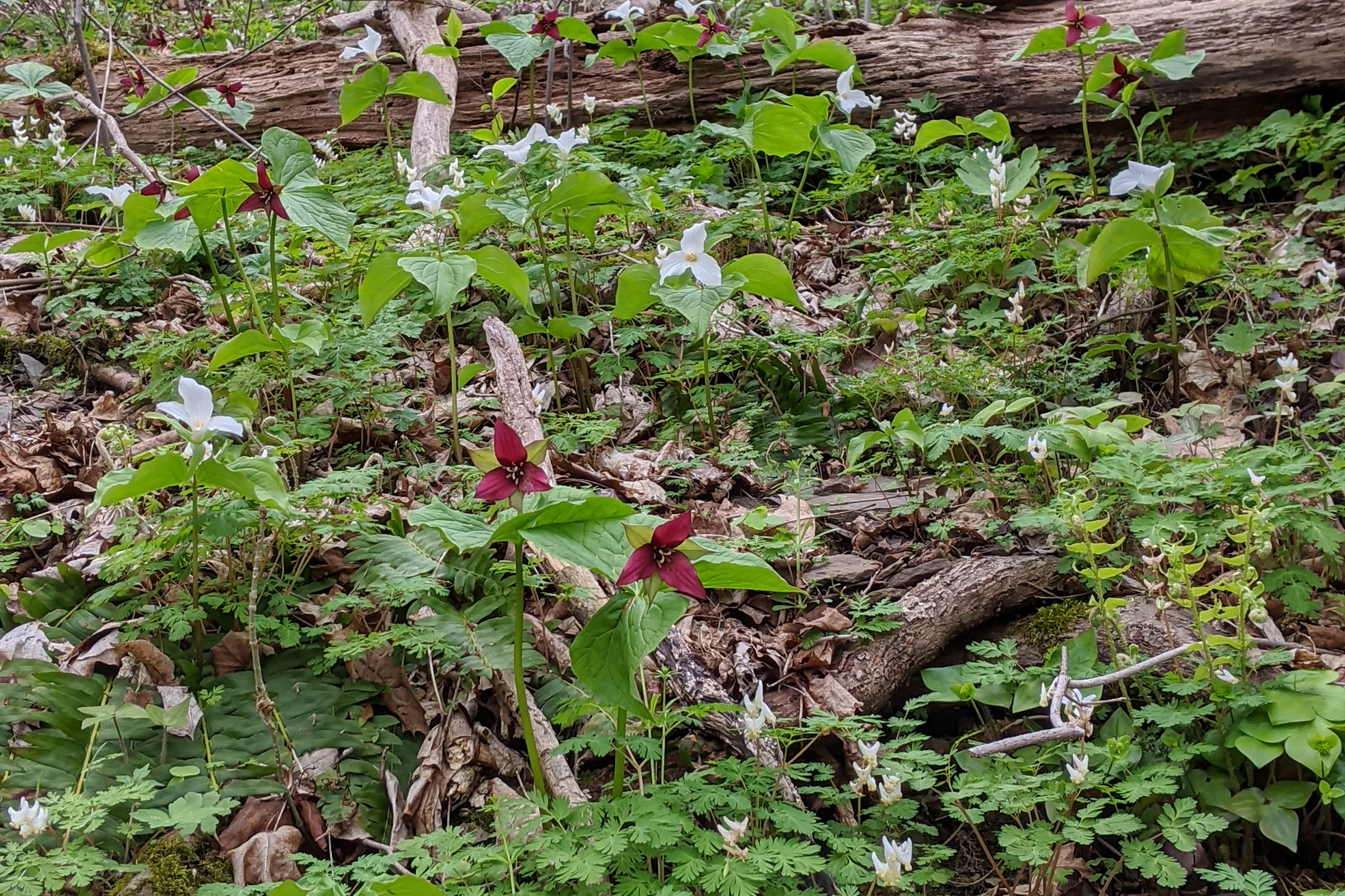 photo of red trilliums