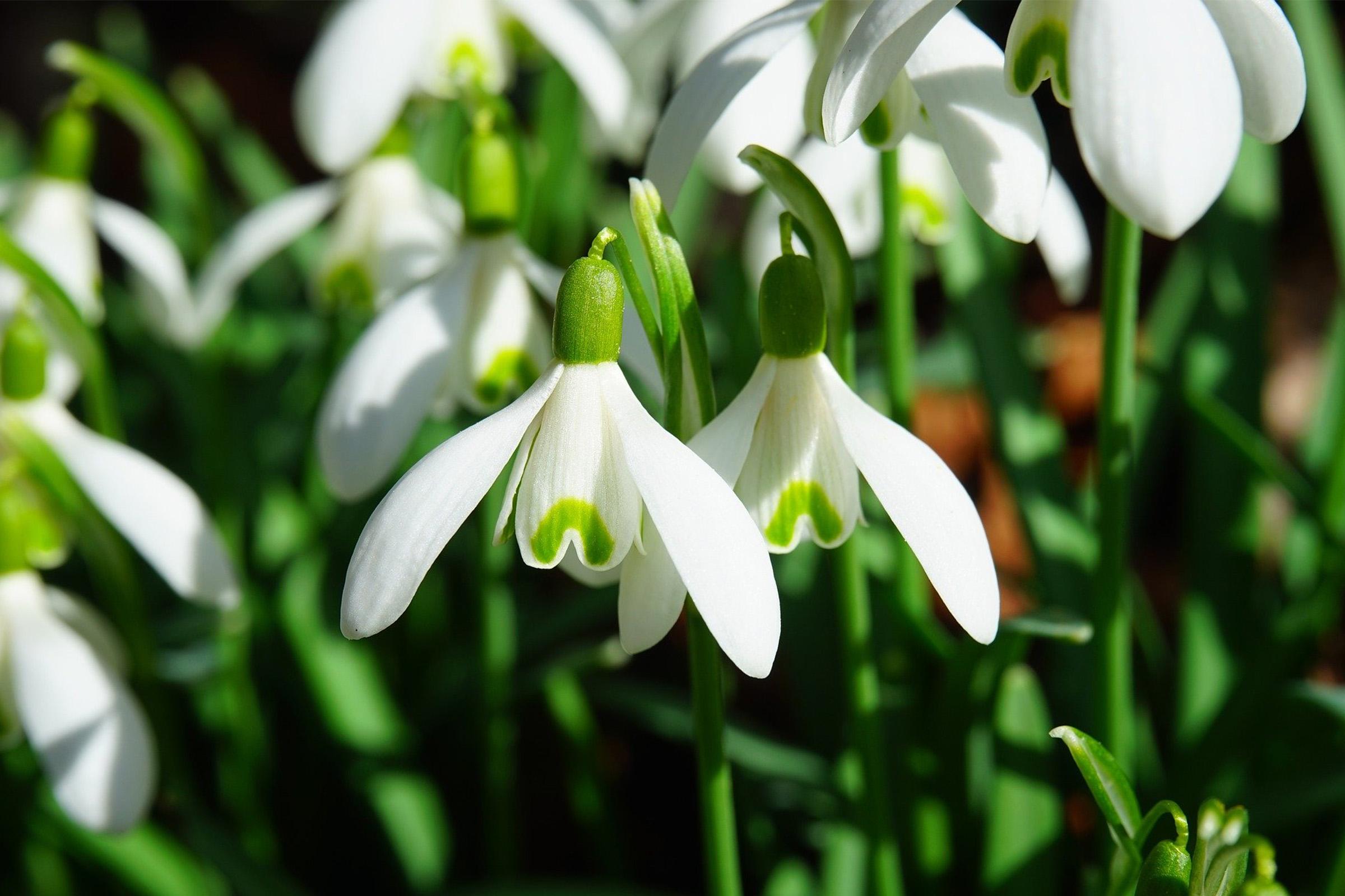 photo of snowdrop flower