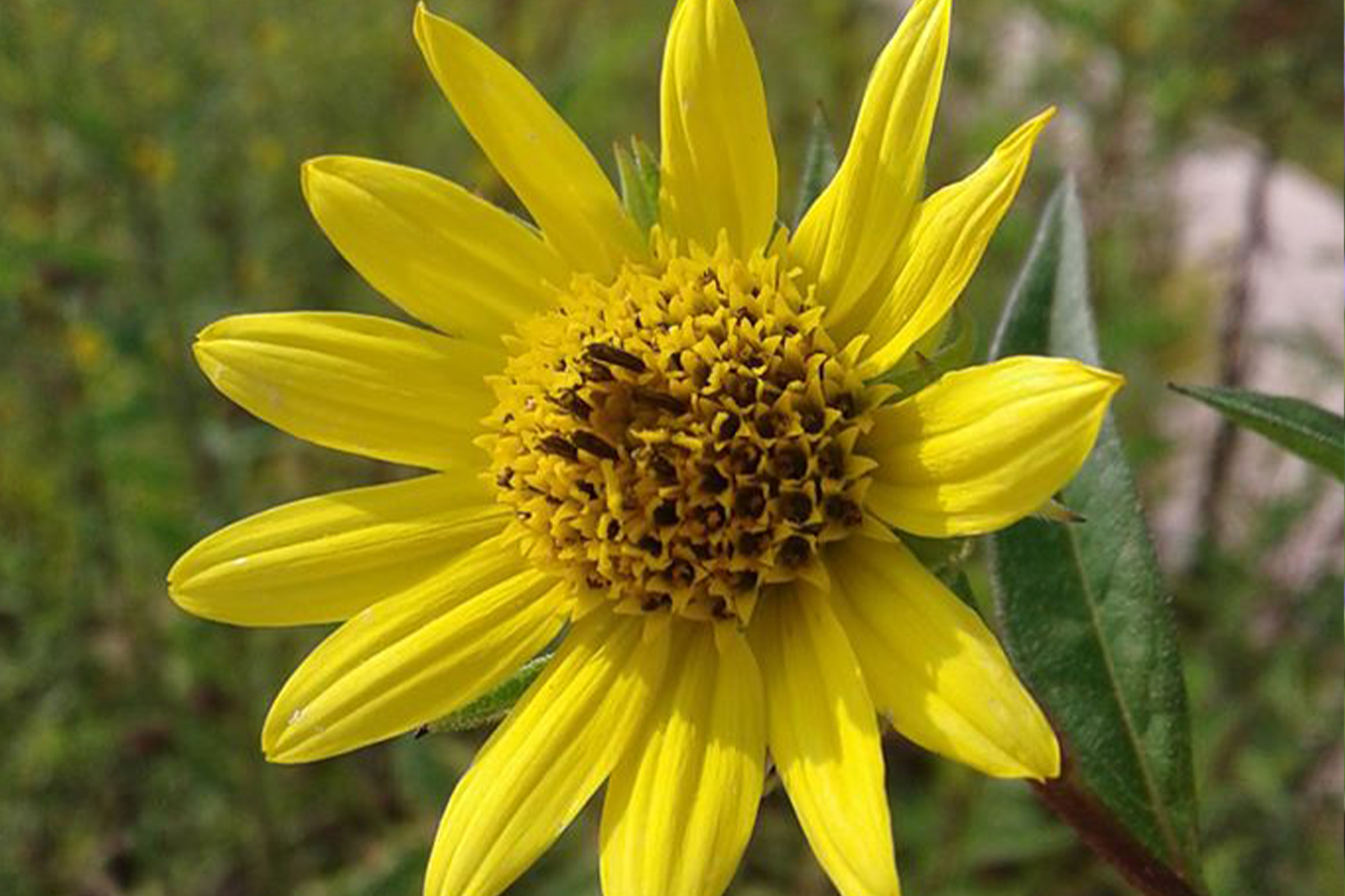 photo of tall sunflower