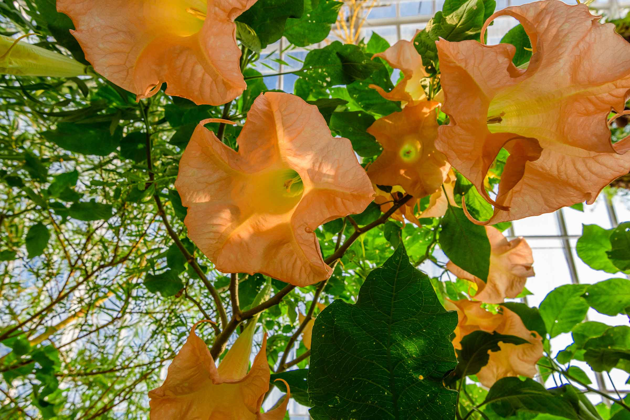 photo of angels' trumpets