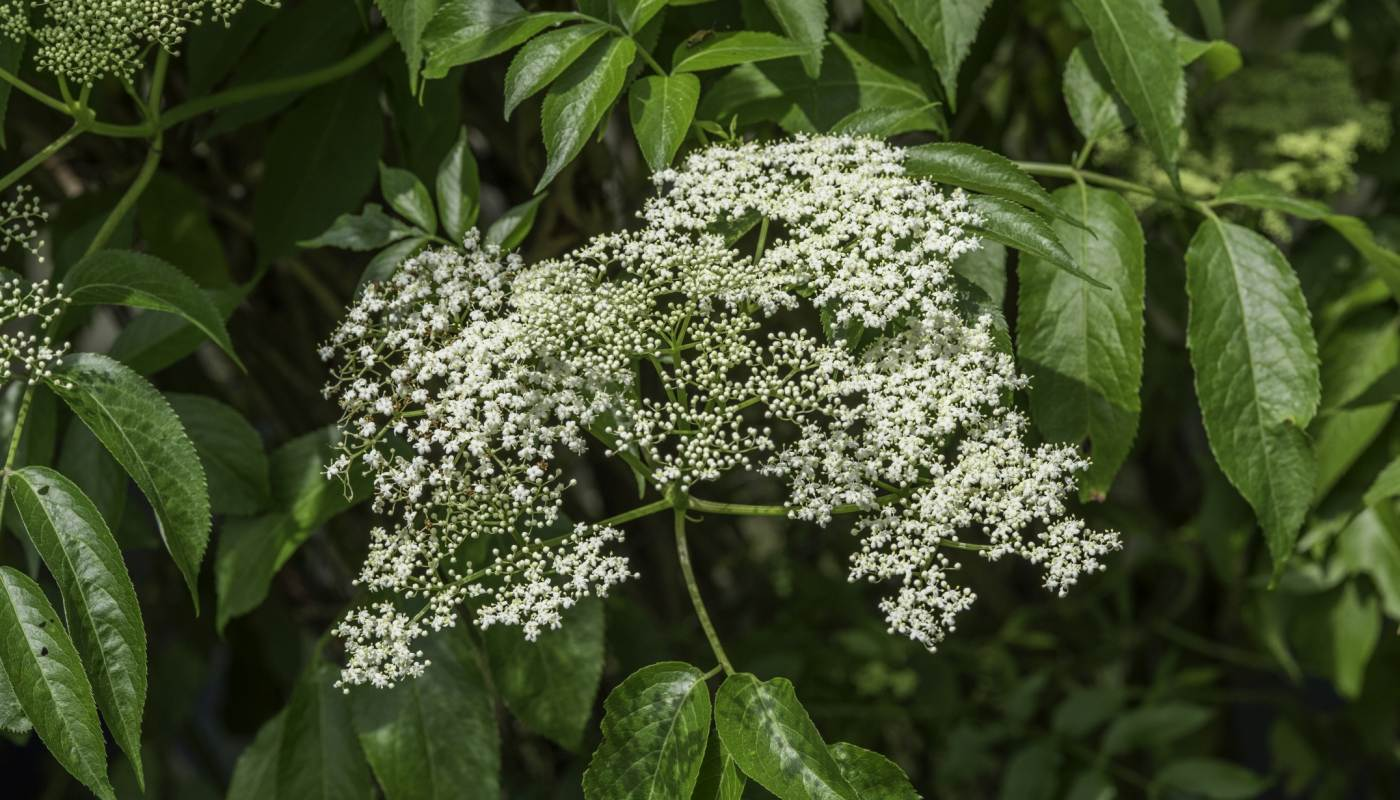 2017 top 10 sustainable plants phipps conservatory and botanical this multi stemmed 5 12 tall suckering native shrub has flat clusters of fragrant white flowers in summer which are followed by purple black mightylinksfo