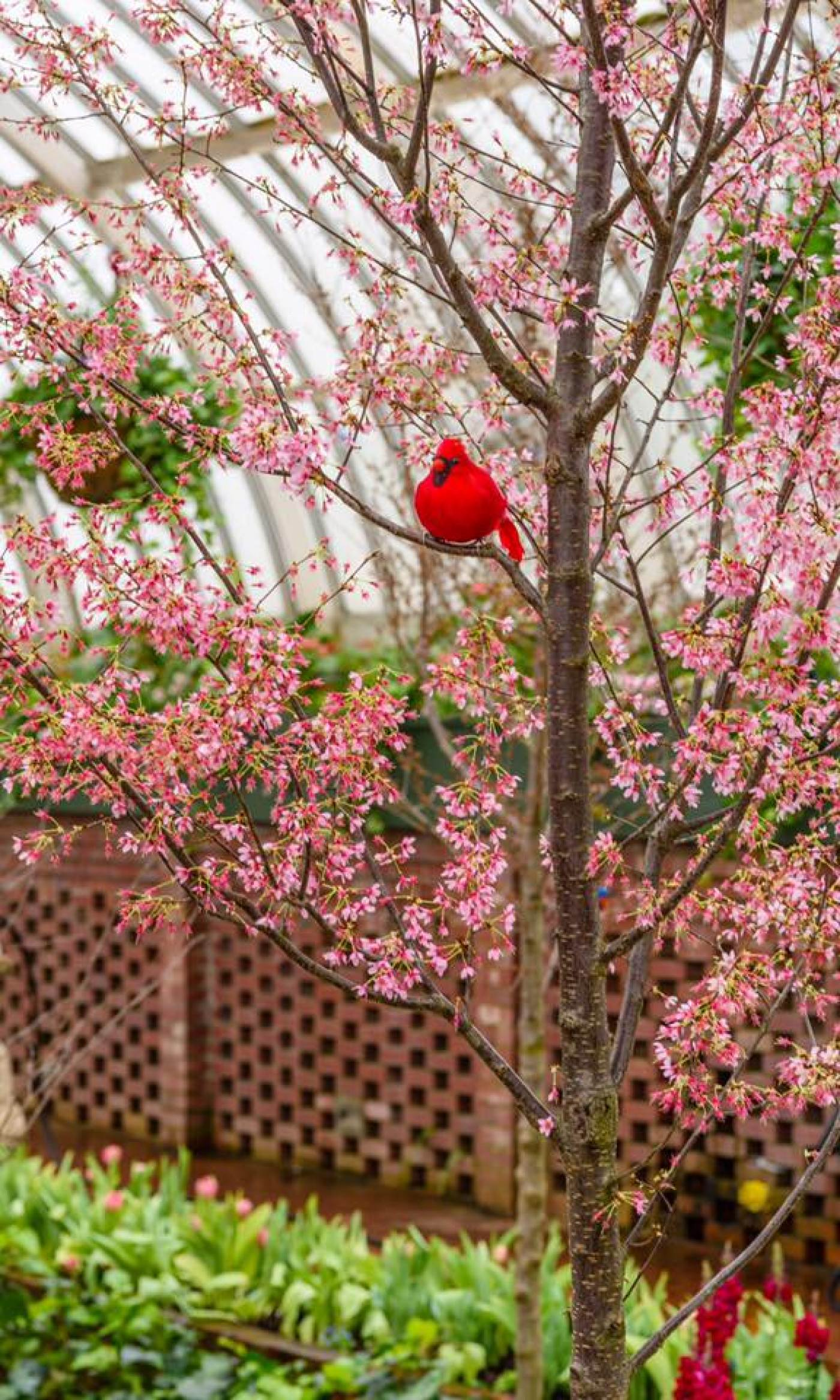 A cardinal ornament rests in a flowering cherry tree in Phipps' Sunken Garden during Spring Flower Show.