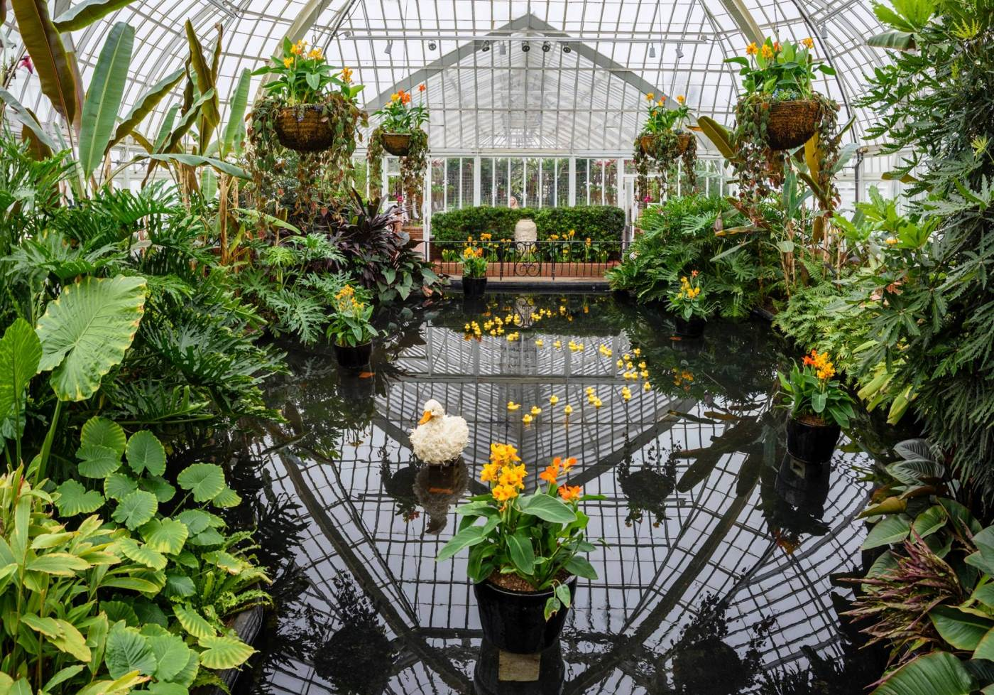 A topiary duck and smaller rubber ducks float in a pond in Phipps' Victoria Room during Spring Flower Show.