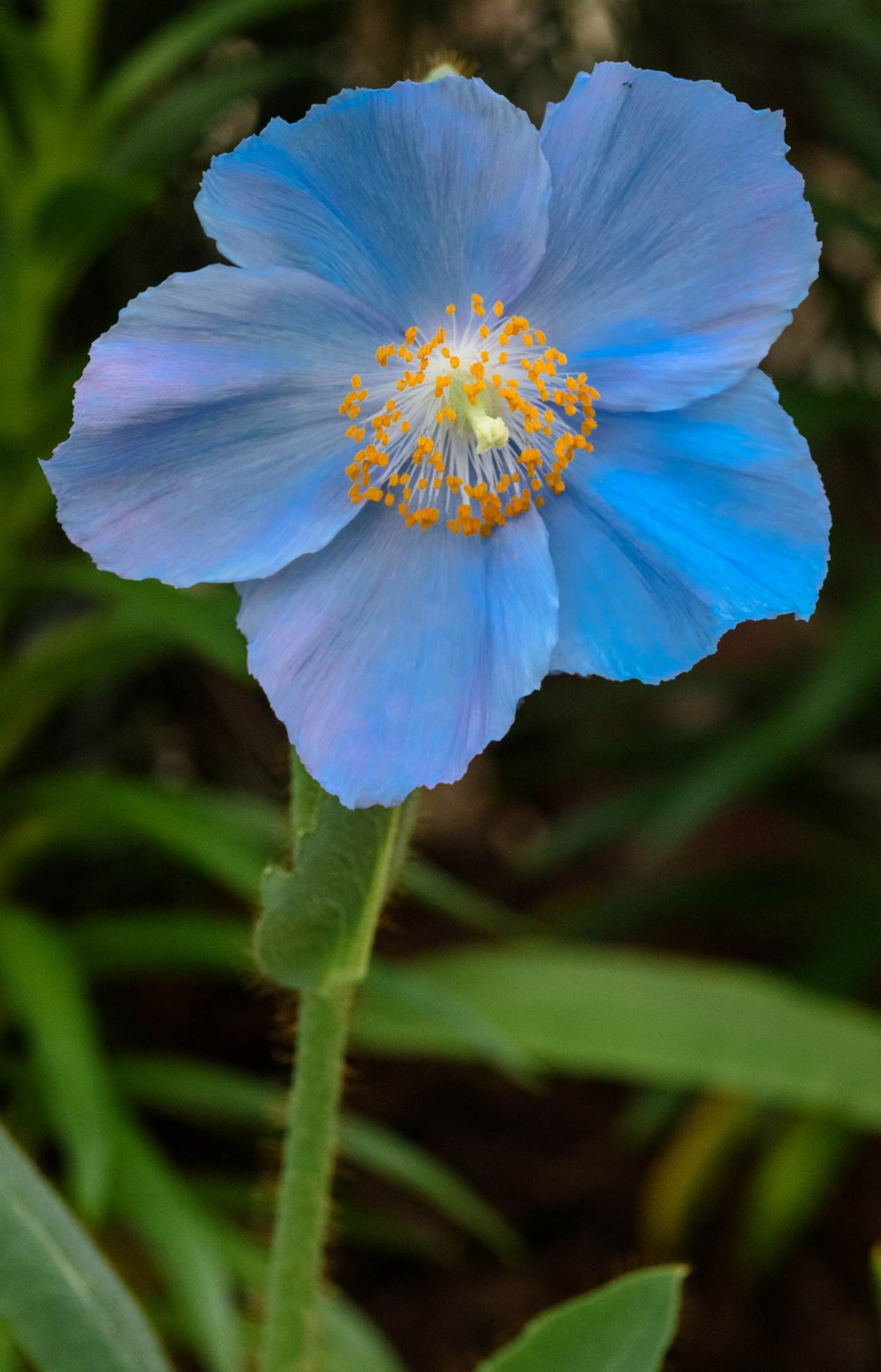 A Himalayan blue poppy is viewed in closeup in Phipps' Spring Flower Show.