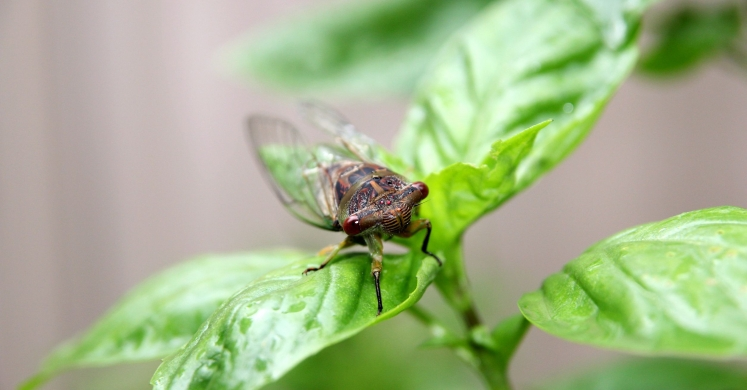 #bioPGH Blog: Dog-Day Cicadas