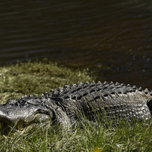#bioPGH Blog Special Update: Alligators in Allegheny County