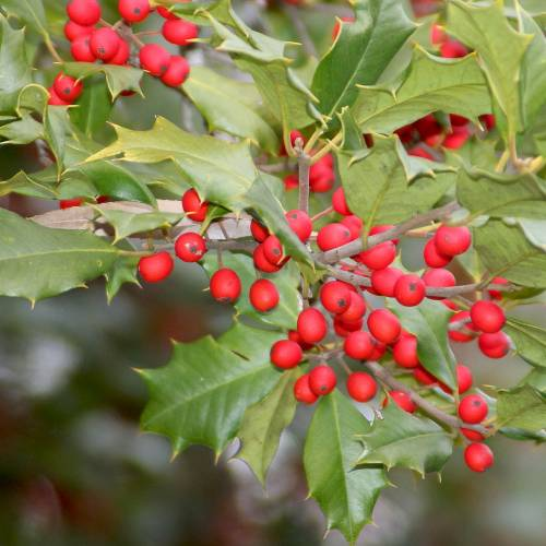 #bioPGH Blog: American Holly