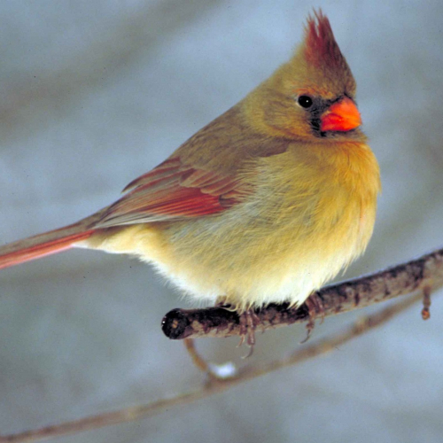 #bioPGH Blog: Northern Cardinals