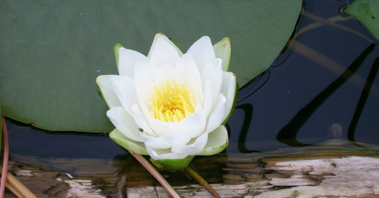 Biopgh Blog Water Lilies Phipps Conservatory And Botanical