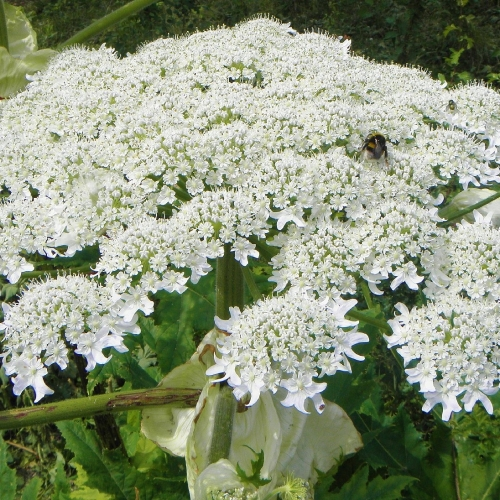 #bioPGH Blog: Giant Hogweed