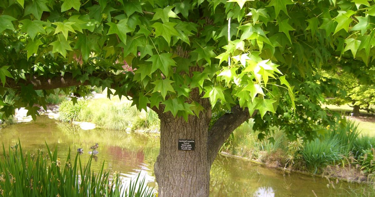 #bioPGH Blog: Sweetgum Tree   Phipps Conservatory and ...