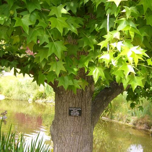 #bioPGH Blog: Sweetgum Tree
