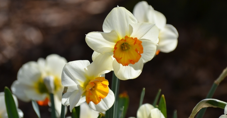 #bioPGH Blog: Daffodils and DNA