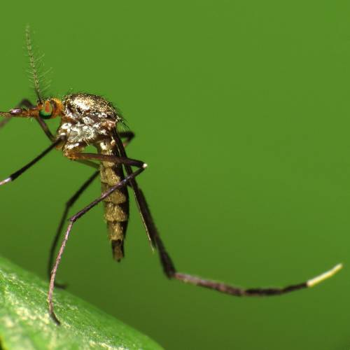 #bioPGH Blog: Mosquitoes