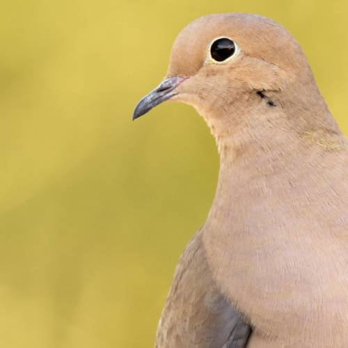 #bioPGH Blog: Mourning Dove Delight