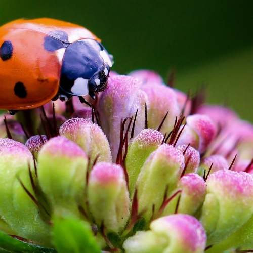 #bioPGH Blog: Ladybugs