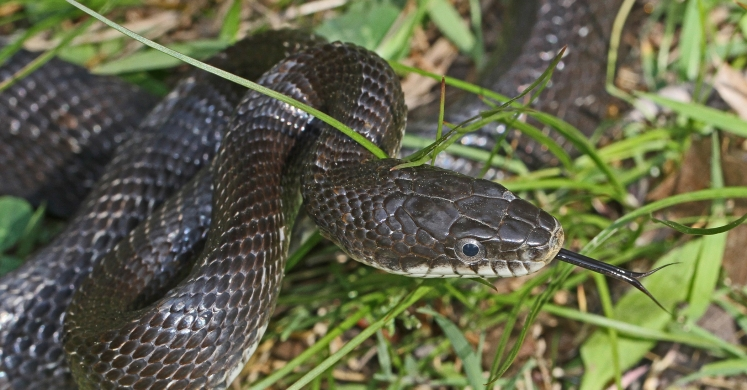 #bioPGH Blog: Eastern Black Rat Snake