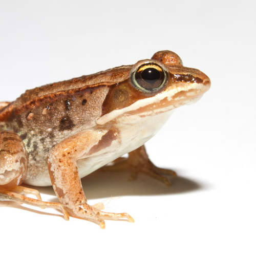 #bioPGH Blog: Frosty Frogs! How Amphibians Spend the Winter