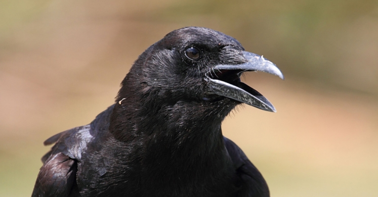 #bioPGH Blog: Ravens and Crows