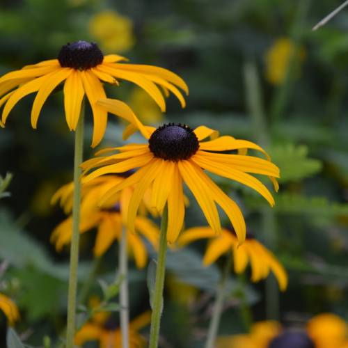 #bioPGH Blog: Black-Eyed Susans