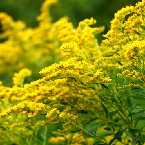 #bioPGH Blog: Goldenrod