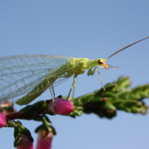 Getting to Know Beneficial Insects