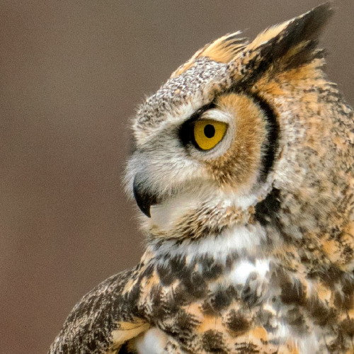 #bioPGH: Great Horned Owls
