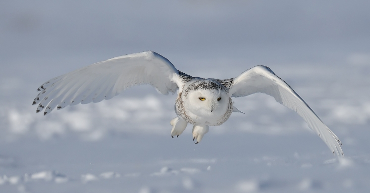 #bioPGH Blog: A Snowy Owl Irruption!
