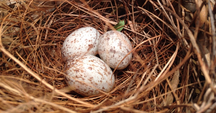 #bioPGH Blog: All the Colors in the Nest - The Story of Eggshell Coloration